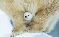 Polar bear with cub between its legs