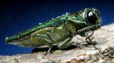 Y todo por un insecto! Descubre lo que está ocasionando este animal en EE.UU