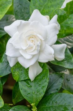 The garden experience can reach all of the senses, but my favorite is scent. Here are my top ten wonderfully fragrant flowers you should add to your garden. Diy Garden, Spring Garden, White Flowers, Beautiful Flowers, White Gardenia, Dwarf Gardenia, Gardenia Care, List Of Flowers, Gardens