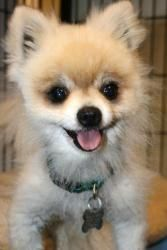 Mr. Scruffy is an adoptable Pomeranian Dog in Burlington, WA. Please research the breed before you adopt! Hello my name is Mr. Scruffy, I'm a mature adult cute little pomerianian. I'm a very happy and...
