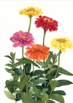 An original watercolor painting of red, orange, and yellow zinnias, growing in my garden. It measures 11 x 15 and is shipped unmatted and unframed. The painting with its brilliant color will enhance any rooms decor. A 16 x 20 white mat is the suggested frame and mat size.