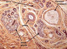 Piel: Corpúsculo de Pacini, glándulas sudoríparas, nervio y arteria.