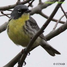 All Birds of North America | ... Birds | Endagered Birds pictures | Endangered Birds of North America