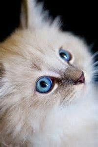 Kitten with Blue Eyes Pretty