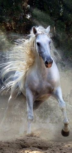 Horse Andalusian Lusitano Lippizaner