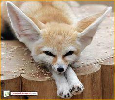 Feneco (Vulpes zerda)