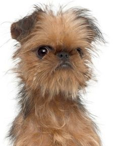 "Also known as the Brussels griffon, the Griffon Bruxellois has a fringe around his expressive face. They weigh about 6 to 12 pounds and are cheerful, with plenty of personality. They can be taught to perform tricks. A Brussels griffon starred in the Jack Nicholson movie ""As Good as it Gets."" I would luv to own a Brussels!!"