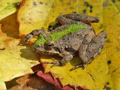 Northern Cricket Frog (Acris crepitans), spotted by Lisa Powers in Cheatham State Wildlife Management Area near Sulphur Springs, Tennessee