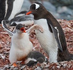 Easy Ways For Successful Weight Loss With Proof Easy Ways For. Baby Animals, Funny Animals, Cute Animals, Penguin Images, Gentoo Penguin, Hissy Fit, Cute Penguins, Baby Kittens, Before And After Pictures