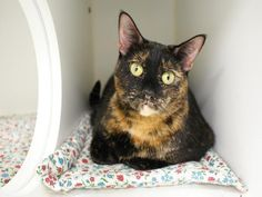 """PULLED BY STATEN ISLAND HOPE - 12/21/15 - MAGGIE aka BRENDA - #A1043961 - - Manhattan  **TO BE DESTROYED 12/20/15** """"A volunteer writes: Sweet Maggie, pretty tortie, just loves people. She loves attention and will reward you with soft purrs and head butts."""