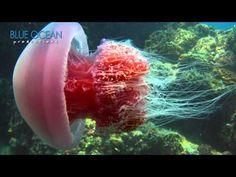 Come Swim With Jellies video of beautiful jellyfish swimming #homeschool