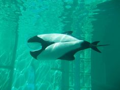 Commerson's dolphin facts