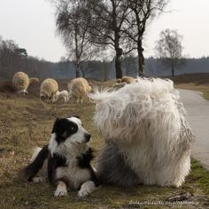 What+?+you+want+to+be+a+sheepdog+too..+no+way......+Iám+the+sheepdog+here...+:)