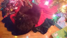 Meowy fluffmas from the kitty who wont leave the tree alone