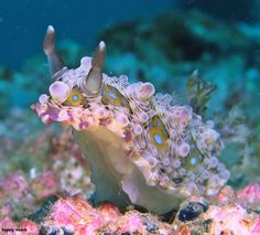 That's a cute little nudibranch! ~~ Aadel Alzaabi