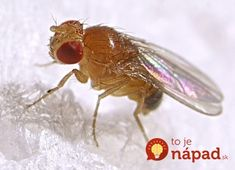 Fruit Fly types, information and pest control: what fly traps are the best and how to get rid of fruit flies. Also read about house flies and crane flies.