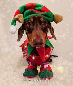 Dachshund shared by  ❁ℒᗩᘎᖇᗩ on We Heart It Dapple Dachshund, Dachshund Puppies, Weenie Dogs, Dachshund Love, Daschund, Doggies, Chihuahua Dogs, Dog Christmas Pictures, Christmas Animals