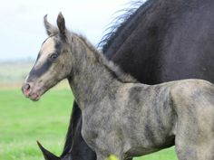 Unusual coloring on this foal - I wonder if he could be a chimera because of the blended coat.