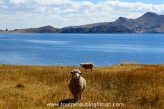 Lac Titicaca, Pérou Lac Titicaca, Animals, Landscape, Animales, Animaux, Animal, Animais