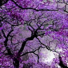the zambian jacaranda trees that i will never forget. Purple Love, All Things Purple, Shades Of Purple, Purple Rain, Purple City, Purple Stuff, Purple Lilac, Beautiful Flowers, Beautiful Places