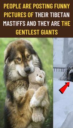 #People #posting #funny #pictures #Tibetan #Mastiffs #gentlest #giants