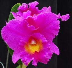 Tropical Flowers, Pink Flowers, Sweet Afton, Cattleya Orchid, Flower Aesthetic, Plantar, Flower Images, Flower Wallpaper, Flower Tattoos