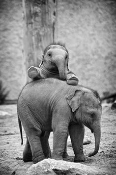 "brookshawphotography: ""brookshawphotography: "" My all-time favourite elephants shot! Two young elephants playing at Chester Zoo… "" It's World Elephant Day today August) so it's seems appropriate. Baby Animals Pictures, Cute Animals, Wild Animals, Elephant Pictures, Beautiful Creatures, Animals Beautiful, Elephants Playing, Baby Elephants, Baby Hippo"