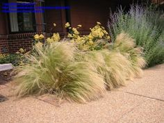 Mexican Feather Grass (Stipa tenuissima) -- 2ft high, space 18in ... self-sows freely (hmm)