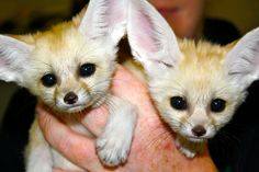 Two Fennec Fox sisters were born at Chattanooga Zoo in Tennessee! They have just been named Zahari, meaning blue in Arabic, and Zeiti, meaning green in Arabic. (To tell the sisters apart, they were each given a small spot of. Baby Zoo Animals, Newborn Animals, Cute Animals, Baby Foxes, Wild Animals, Fennec Fox Baby, Chattanooga Zoo, Philadelphia Zoo, Animal Science