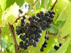 The beginning of wine
