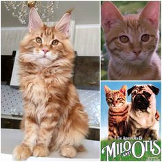 Top 29 Awesome Maine Coon Cat Names Ideas Milo – Top 29 Super Maine Coon Katzennamen Ideen Gato Maine, Maine Coon Kittens, Harry Potter Cat Names, Himalayan Persian Cats, Animals And Pets, Cute Animals, F2 Savannah Cat, Cat Stands, Cats For Sale
