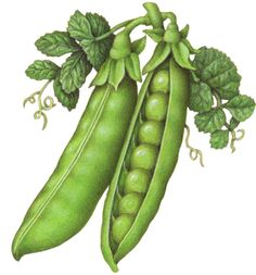 Vegetable botanical illustration of peas with one whole pea pod, one open pea pod with peas showing, and leaves with vines. Art And Illustration, Vegetable Illustration, Food Illustrations, Vegetable Drawing, Vegetable Painting, Watercolor Fruit, Fruit Painting, Botanical Drawings, Botanical Prints
