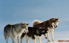 Photo de chiens de traîneau