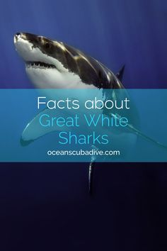 Great White Sharks Are A Majestic And Beautiful Shark Species Read On To Learn 50 Cool SharksShark FactsGreat