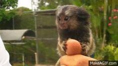 Top 8 Funny Finger Monkey Pics