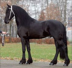 Stendert 447 (Andries x Piter) . . . this is one gorgeous beast!