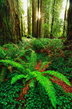 ✯ Redwood National Forest, California