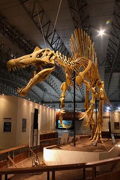 history of dinosaurs Spinosaurus was the largest carnivorous dinosaur that ever lived, as well as an accomplished swimmer. Here are 10 fascinating Spinosaurus facts. Dinosaur Skeleton, Dinosaur Bones, Dinosaur Fossils, Dinosaur Art, Prehistoric Dinosaurs, Prehistoric World, Prehistoric Creatures, Spinosaurus Aegyptiacus, Jurassic Park World