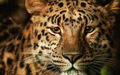 leopard - Google zoeken