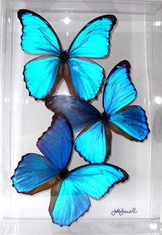 All about the butterfly specimens lately.