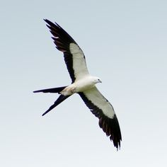 Swallow-tailed Kite  I love seeing these birds. They are so graceful in the sky.
