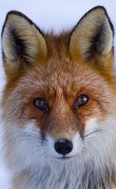 What did the Fox say?