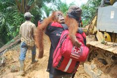 A mother orangutan and her baby were rescued from an area of forest that was being bulldozed for an oil palm plantation in Sumatra, reports the Orangutan Information Centre (OIC), which participated in the translocation of the red apes.