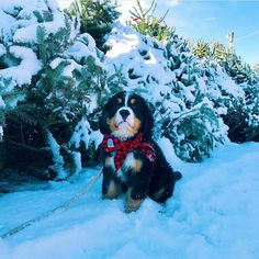 "Bernese Mountain Dogs on Instagram: ""Picking out the tree. @lucy_theberner"" • Instagram"