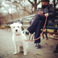 Shorty, Jack Russell Terrier, Central Park, New York, NY