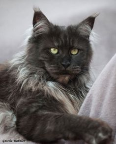 Shaded smoke maine coon cat. My Graelyn was just like this one