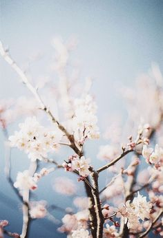 blossoms//