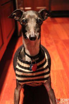 cute italian greyhound, #hiphop #beats updated daily => http://www.beatzbylekz.ca/free-beat