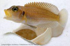 "Der Schneckenbuntbarsch-Blog: Lamprologus ocellatus ""Gold"" #Shelldweller #Aquaristik #fishkeeping"