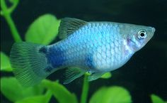 Blue Mickey Mouse Platy ~ I might be able to put some of these in my tank